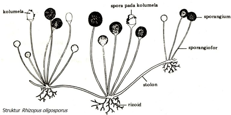 ZwamBoon Rhizopus oligosporus